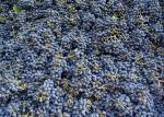 As uvas depois de podadas